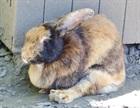 Rosemarie(2017)Kaninchen/Kleintiere