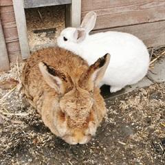 Egon (braun) 2012  und Schneewittchen (weiss) 2018(0)Kaninchen/Kleintiere