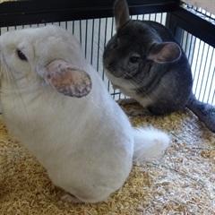 Chinchillas und Vermittlung(2010)Chinchillas/Kleintiere