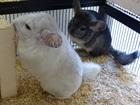 Zurzeit sind alle Chinichillas reserviert => keine zur Vermittlung.(2010)Chinchillas/Kleintiere