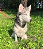 May(2016)Siberian Husky/Hunde