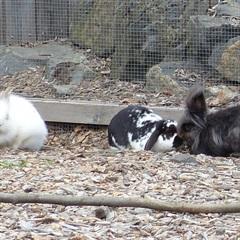 Fleur, Pauline und Löffel (0)Kaninchen/Kleintiere