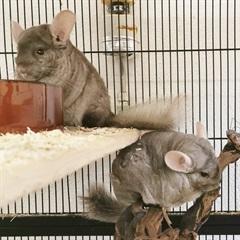 Bobby und Justin(2017)Chinchilla/Kleintiere
