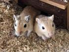 Minnie und Leo(2017)Gerbil, mongolische Wüstenrennmaus/Kleintiere