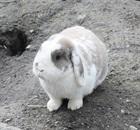 Klopfer(2015)Kaninchen/Kleintiere