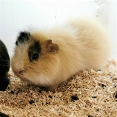 Haniball (tricolor)(2020)Meerschweinchen/Kleintiere