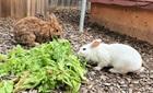 Egon (2012) + Schneewittchen (2018)(0)Kaninchen/Kleintiere
