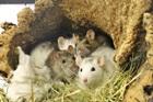Candy, Cheesie, Chloé, Curly(2016)Ratten/Kleintiere