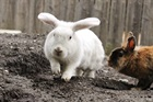 Sunny (weiss) (2014)Kaninchen/Kleintiere