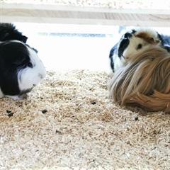 Oreo (weiss-schwarz), Porpucine (schwarz-rosette), Hermine (rot-langhaar), Trudi(2020)Meerschweinchen/Kleintiere