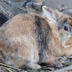 Tata (2016)Löwenkopf Kaninchen/Kleintiere