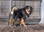 Kimi(2014)Berner Sennenhund x Appenzeller/Hunde